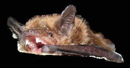 Brown Bat With Teeth