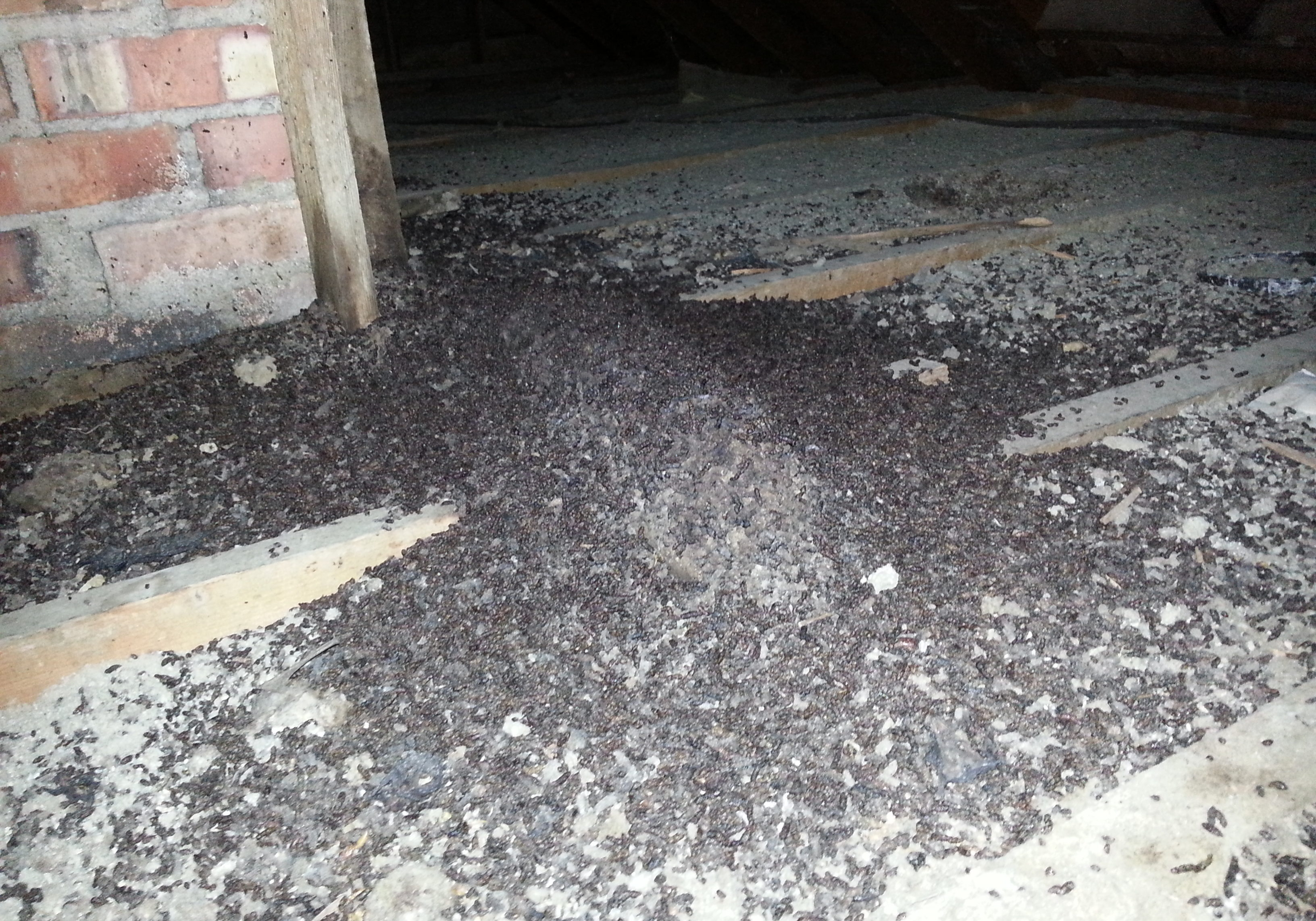 Bat Guano in the attic